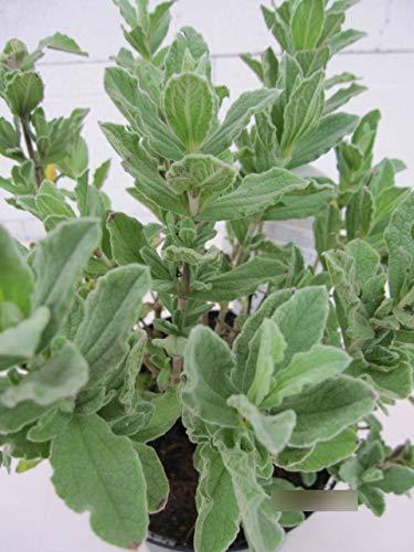 Cistus pulverulentus - Zistrose pulverulentus