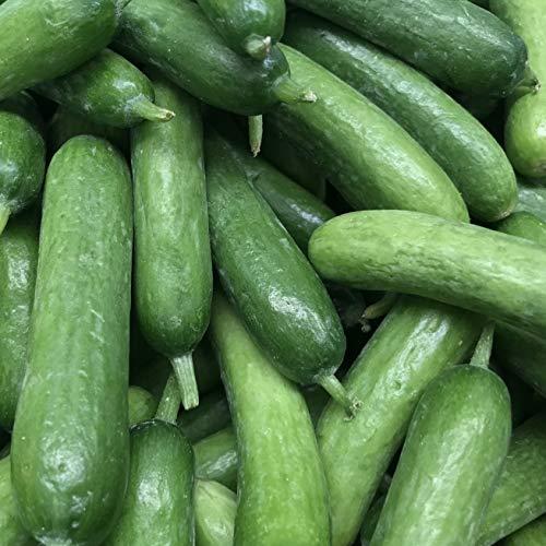 Samen für ca. 20 Pflanzen Gurke Beth Alpha - kleine Salatgurke, süße Früchte