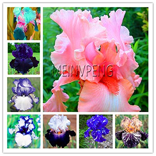 Pinkdose Schlussverkauf!Iris Pflanze, Bonsaiblume Bonsai Erbstück Iris Tectorum Staude Blumenpflanzen Seltenes Palnt für Hausgarten, 100 Seed: MIX