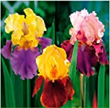 tomasa seedhouse- 50 pezzi dutch iris autumn princess, semi di iris hardy iris mix viola/bianco bonsai raro semi di fiori perenni piante da giardino di casa