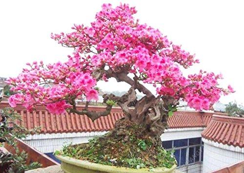 20 Pcs / sac japonais Sakura arbre Graines Bonsai Fleur de fleurs de cerisier Livraison gratuite ornement-Plante vivace Fleurs Jardin Noir