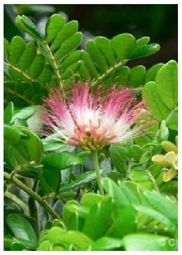TROPICA - Arbre de pluie (Albizzia saman) - 10 graines- Magie tropicale