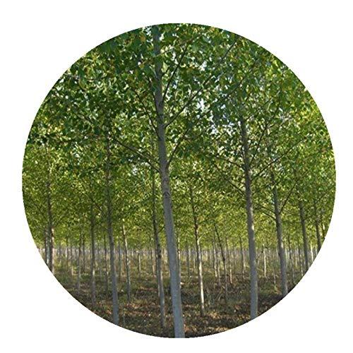 Árboles forestales a granel semillas de olmo blanco, olmo negro, semillas de olmo de fruta grande 300 granos