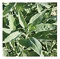 David's Garden Seeds Herb Sage White SL9613 (White) 25 Non-GMO, Heirloom, Organic Seeds