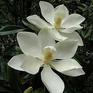 Southern Magnolia Tree Seeds (Magnolia grandiflora) 10+Seeds