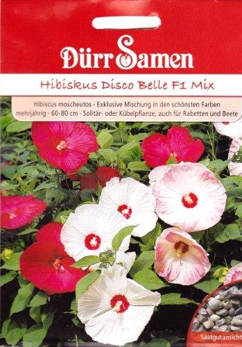 Hibiskus, Hibiscus moscheutos, ca. 10 Samen