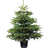Nordmann Fir Pot Grown Christmas Tree - Choice of sizes