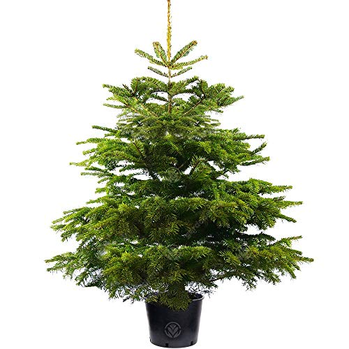 Nordmann Fir Pot Grown Christmas Tree - Choice of sizes