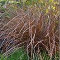 Outsidepride Carex Flagellifera Bronze Seeds