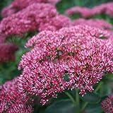 Aimado Seeds Garden-10 Pcs graines Sedum Fleurs graines vivaces rustique couvre sol véritables décorations ornementales pour le jardin