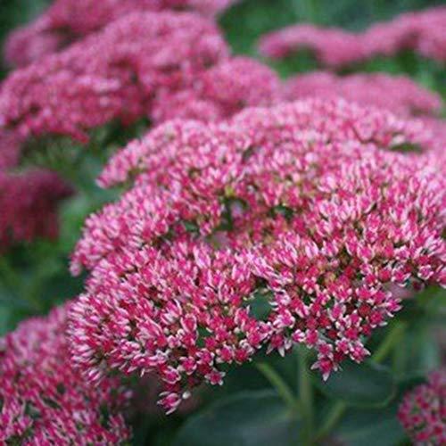 AIMADO Samen-50 Pcs Sedum Blumensamen für Dachbegrünung,sehr robuste Bodendecker bienenfreundliche Blumen Saatgut für Garten