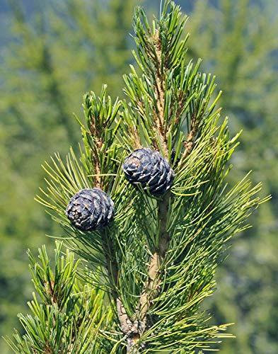seedsown 5 Samen von Pinus Cembra Zirbe Baumsamen