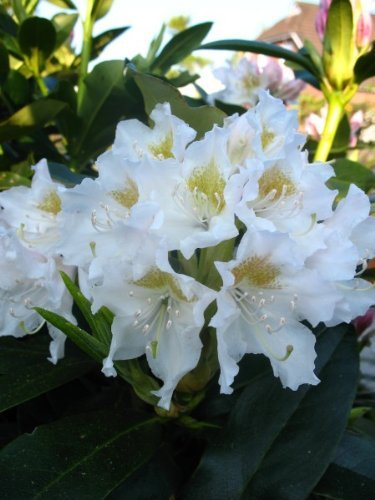 Alpenrose Rhododendron Cunningham's White 30-40 cm hoch im 5 Liter Pflanzcontainer