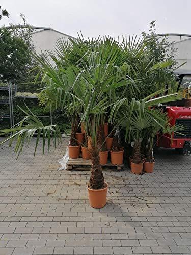 XXL winterharte Palme Hanfpalme 200-220 cm - Stamm 50-60 cm -18 °C Trachycarpus Fortunei