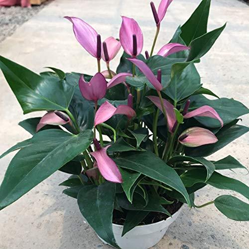 Rarität Exotische Einblatt Spathiphyllum Anthurium Blumensamen 50Pcs, Flamingoblume Anthurien Samen Einblatt Blühende Luftreinigende Zimmerpflanze Bonsai Blume Balkon Pflanzen