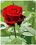 Cross Stitch Kits for Beginners Child-Beautiful red Rose-DIY Stamped Embroidery Needlework Needlepoint Cross Stitch-Christmas Art Home Decoration-16x20 inch (11CT Pre Printed Canvas)