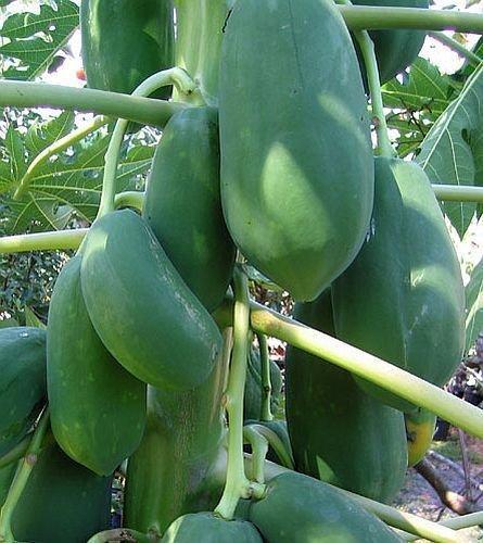 Carica papaya - Papaye - 15 graines
