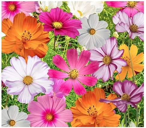 Recommended Cosmos Seeds in a Mixture of - Blooming Period Max 75% OFF Long Varieties 11