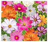 Cosmos Seeds in a Mixture of 11 Varieties - Long Blooming Period in All Zones
