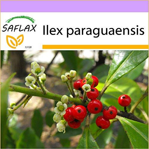 SAFLAX - Mate - Teestrauch - 10 Samen - Ilex paraguaensis
