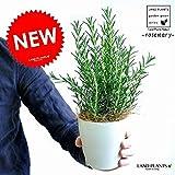 LAND PLANTS ローズマリー 白色プラスチック鉢セット 4号 立性