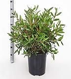 Fleur de Botanicly – Rince Bouteille – Hauteur: 60 cm –...