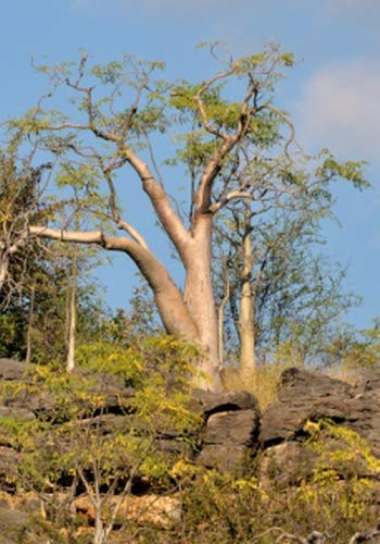 TROPICA - Moringa (Arbre fantôme d'Etosha) (Moringa ovalifolia) - 10 graines- Magie tropicale