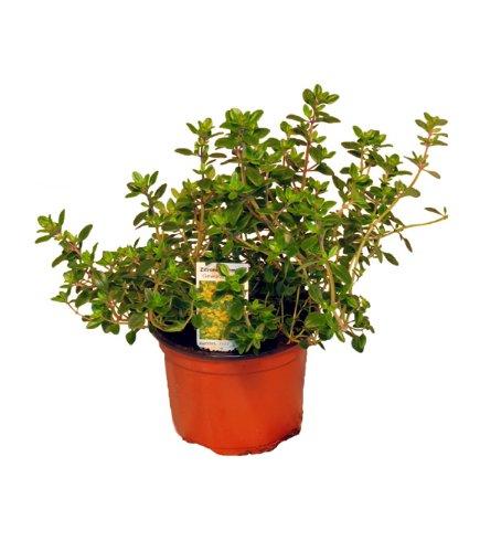 Zitronen-Thymian Pflanze, Zitronenthymian, Thymus citriodorus, Marktfrische Pflanze