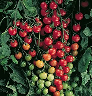 Best sweet 100 tomato plant Reviews
