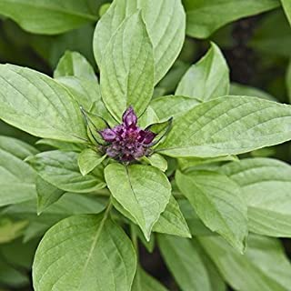 David's Garden Seeds Herb Basil Siam Queen SL8823 (Green) 200 Non-GMO, Heirloom Seeds