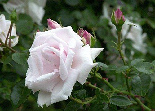 Rose New Dawn Wurzelware / Qualität A - floranza®
