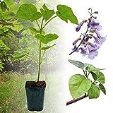 1 x Paulownia Blauglockenbaum SHANDONG, sehr...