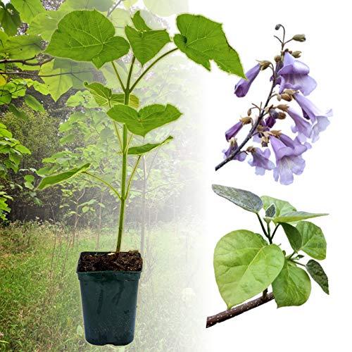 1 x Paulownia Blauglockenbaum SHANDONG, sehr schnellwüchsig; auch Kaiserbaum, Empress tree, Kiribaum für Wertholz/Energieholz, keine Samen! (2-3-Liter-Topf)