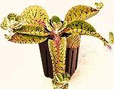 Orejas de burro - Planta kalanchoe gastonis-bonnieri suculentas exóticas de semillas Semillas -15