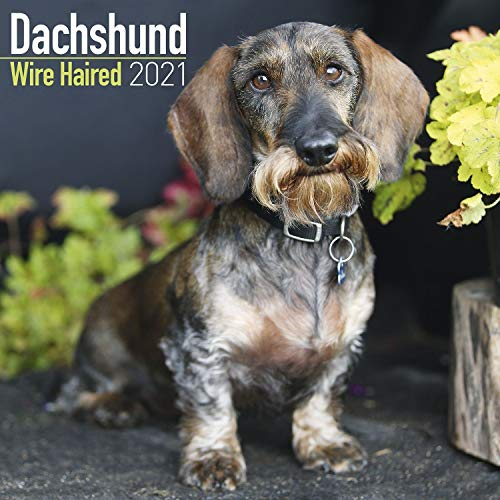 Dachshund Wire Haired 2021 Wall Calendar