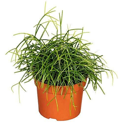 Florado Korallenkaktus, Rhipsalis, echte Zimmerpflanze, Pflanze, Ampelpflanze, Topfgröße 12cm…