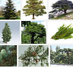 Graines Promotion 1 Professional Pack (100pieces / lot) Cedar Graines Bonsai Arbre Cèdre Perennial vert pin Graines de semences Novel