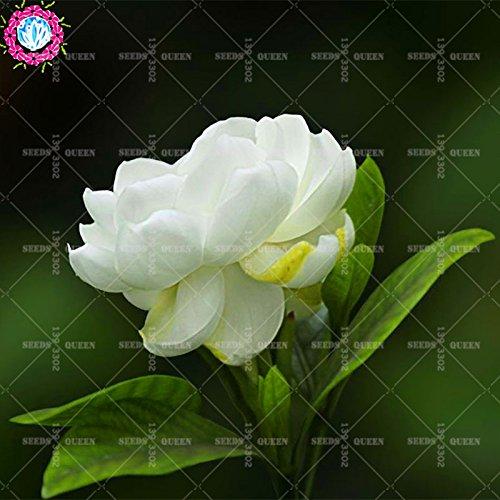 2 pièces / sac graines de fleurs de Gardenia (Cape Jasmine) jardin en pot Bonsai odeur incroyable et de belles fleurs pour chambre bateau libre 2