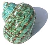 Beapet 9-12 cm Super Green Green Turbo Natural Raro Real Concha Conch Conch DIY Snail Ocean Ornament Aquarium Paisaje Hogar especímenes Decoración Artesanía Conchas de mar para la decoración