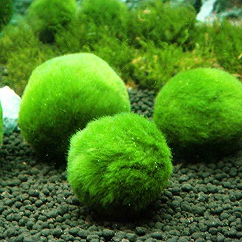 Topbilliger Pflanzen Mooskugeln 3X - 3-5 cm - natürlicher Biofilter für`s Aquarium