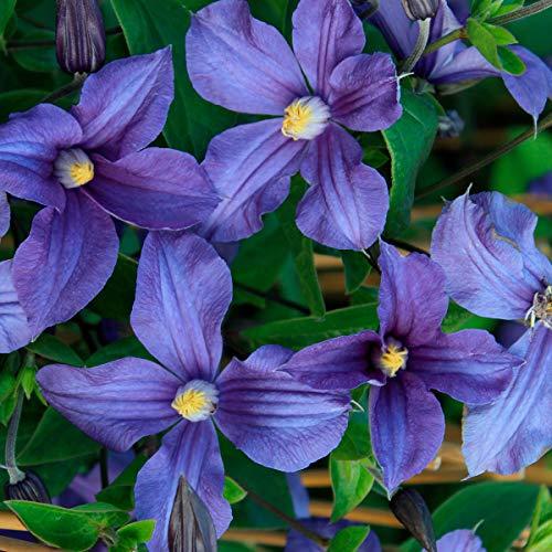 Keland Garten - 40pcs Japan Raritäten Clematis reichblühend duftend Kletterpflanzen Waldrebe, Bis zu 10 cm große Blüten, pflegeleicht Blumensamen winterhart mehrjährig