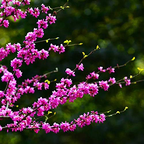 100pcs Eastern Redbud Tree Seed - Healthy Cercis Very Cold Hardy Gorgeous Pink Flowers