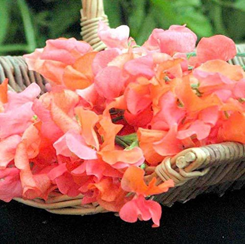 Portal Cool Suttons Seeds Sweet Pea prince d'Orange
