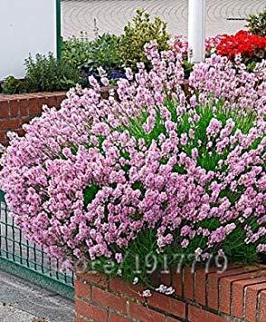 ASTONISH Erstaunen SEEDS: 100 Stück Vanillesamen, Lavendel seltene Rosen Samen, Haus & Garten Bonsai Pflanze, aus dem rosaen Lavendel USA