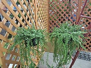 プランツネット 観葉植物 ディスキディア ルスキフォリア(ミリオンハート) 6号 K0116759 3個入