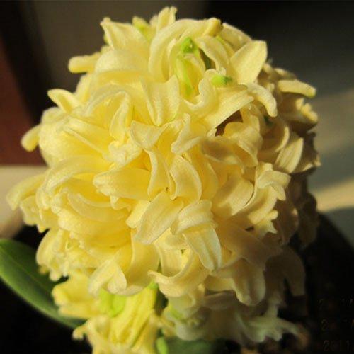 2016 Nouvelle arrivée d'Orange Hyacinthus Orientalis Seeds Seed Hyacinth pot Bonsai Balcon Fleur bricolage jardin 100 particules / l
