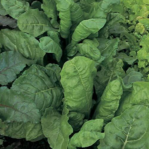 FERRY HOCH KEIMUNG Seeds Nicht NUR Pflanzen: Spinat-Samen Ewiger Spinat Beet ca. 250 Samen Kings Samen Gemüsesamen