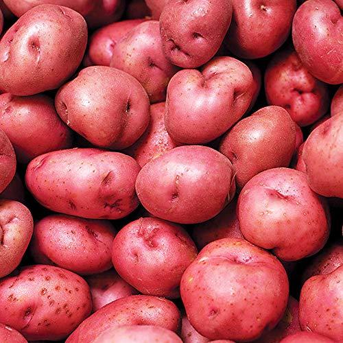 8 x semillas de tubérculos de patata – Asado, hervir o puré de Maincrop – Ganador del premio RHS al mérito del jardín – Disfruta de los suelos cultivados en casa en tu jardín de cocina