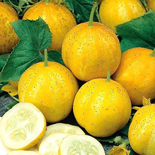 Swiftt Bio Zitronengurke Samen Crystal Lemon Gurke Samen Obstsamen Saatgut Gemüsesamen winterhart mehrjährig für Garten Balkon/Terrasse