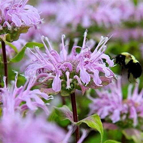 "GETSO Samen-Paket: Bergamotte Bienen-Balsam ""Monarda"" 50 Samen"